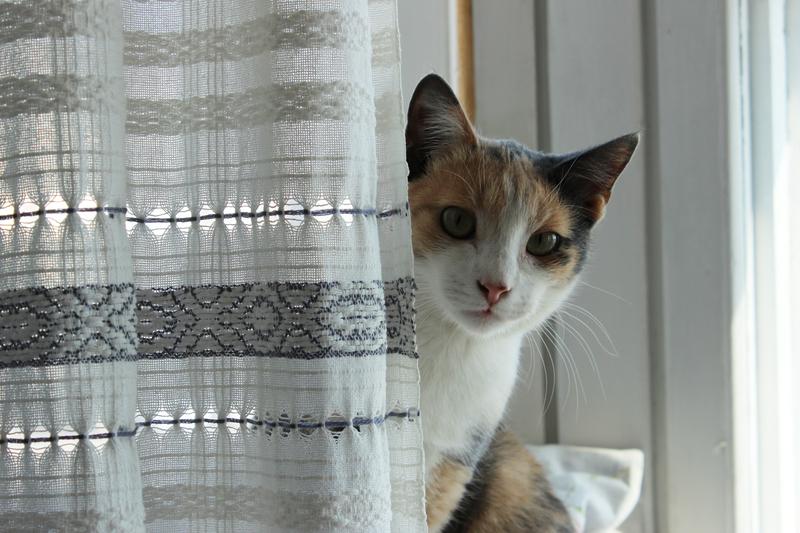 Cat behind curtain